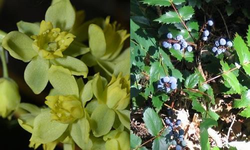 Mahonia nervosa/Portland Nursery